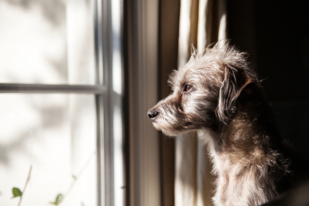 a dog looking outside from a window in New York